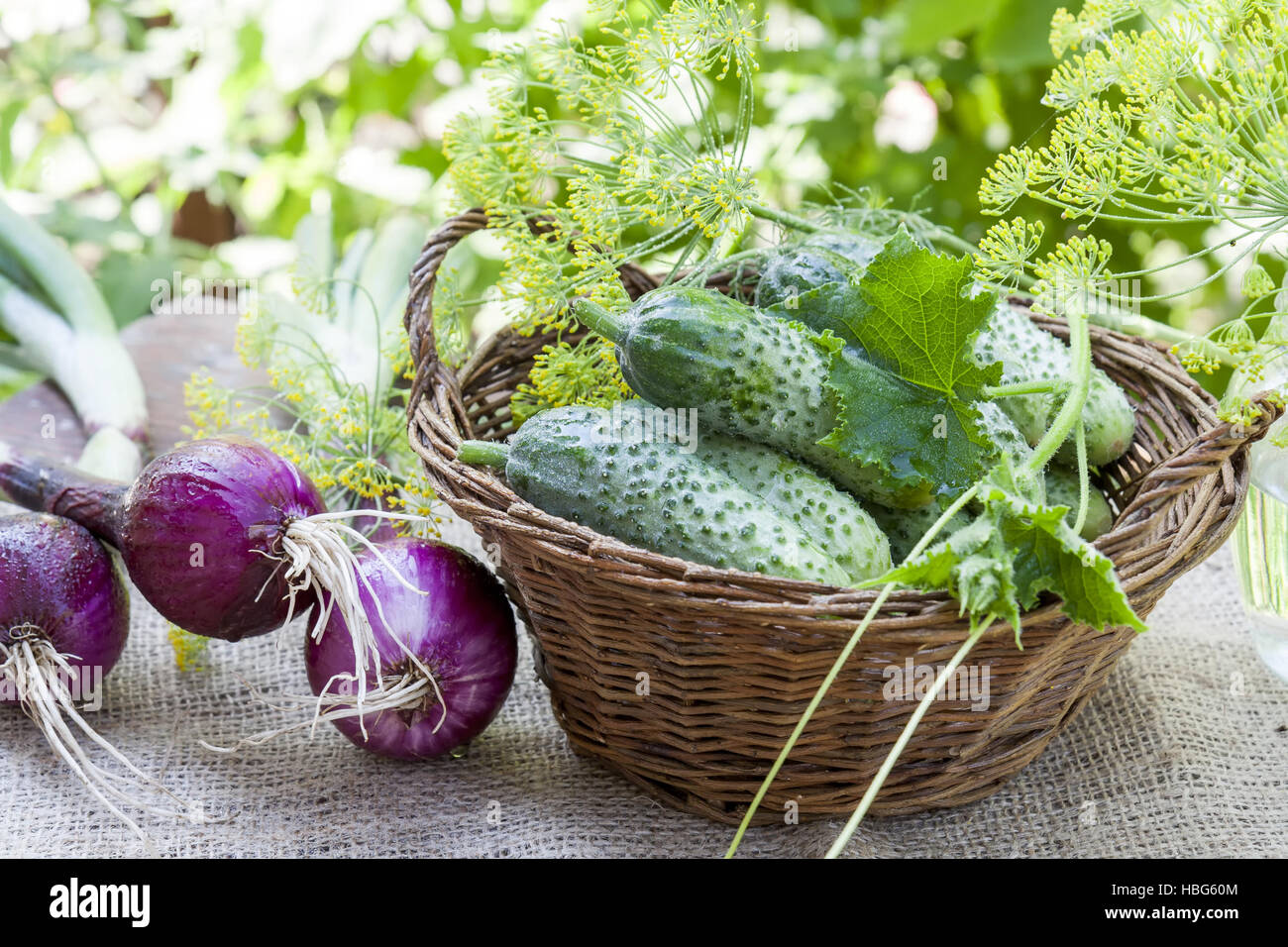 Fresh cucumbers in wicker basket with dill - Stock Image