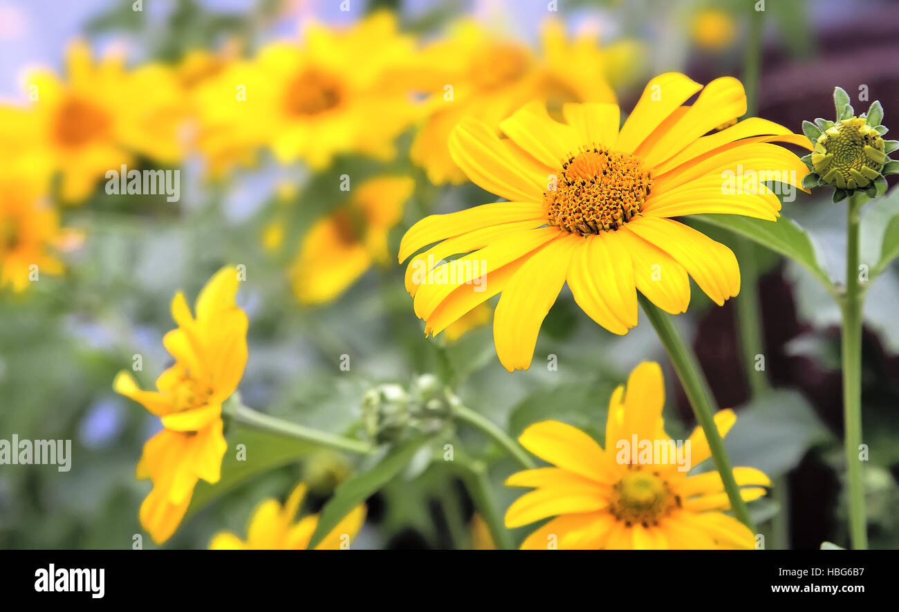 Big beautiful flower with yellow petals. - Stock Image