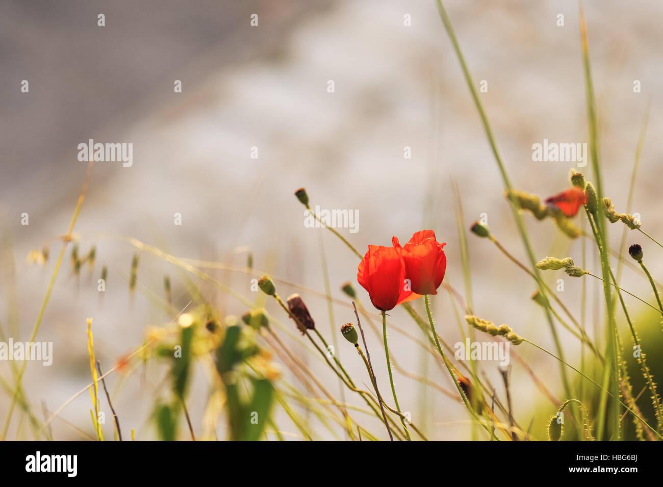 Poppies on the beach Stock Photo
