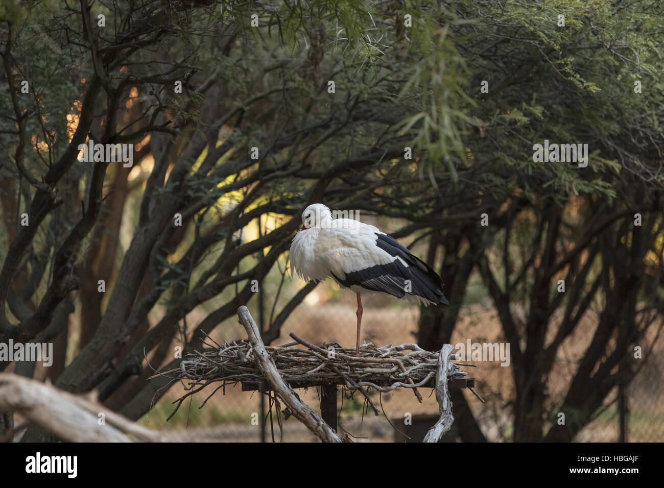 European White stork, Ciconia ciconia Stock Photo