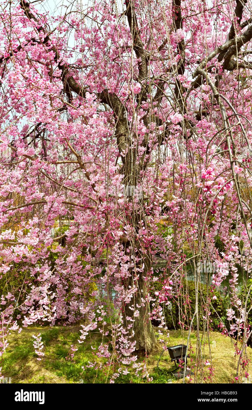 Sakura - Stock Image