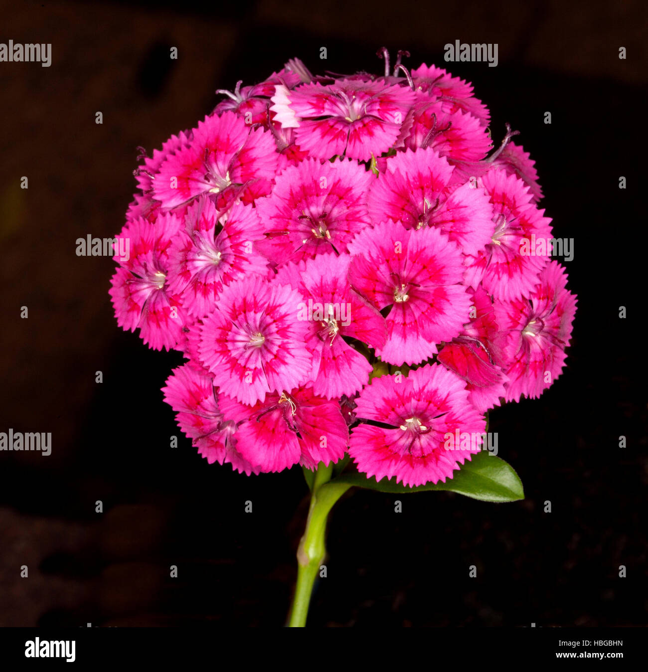 Domed cluster of stunning vivid magenta pink & red  flowers of Dianthus barbatus, Sweet William & green - Stock Image