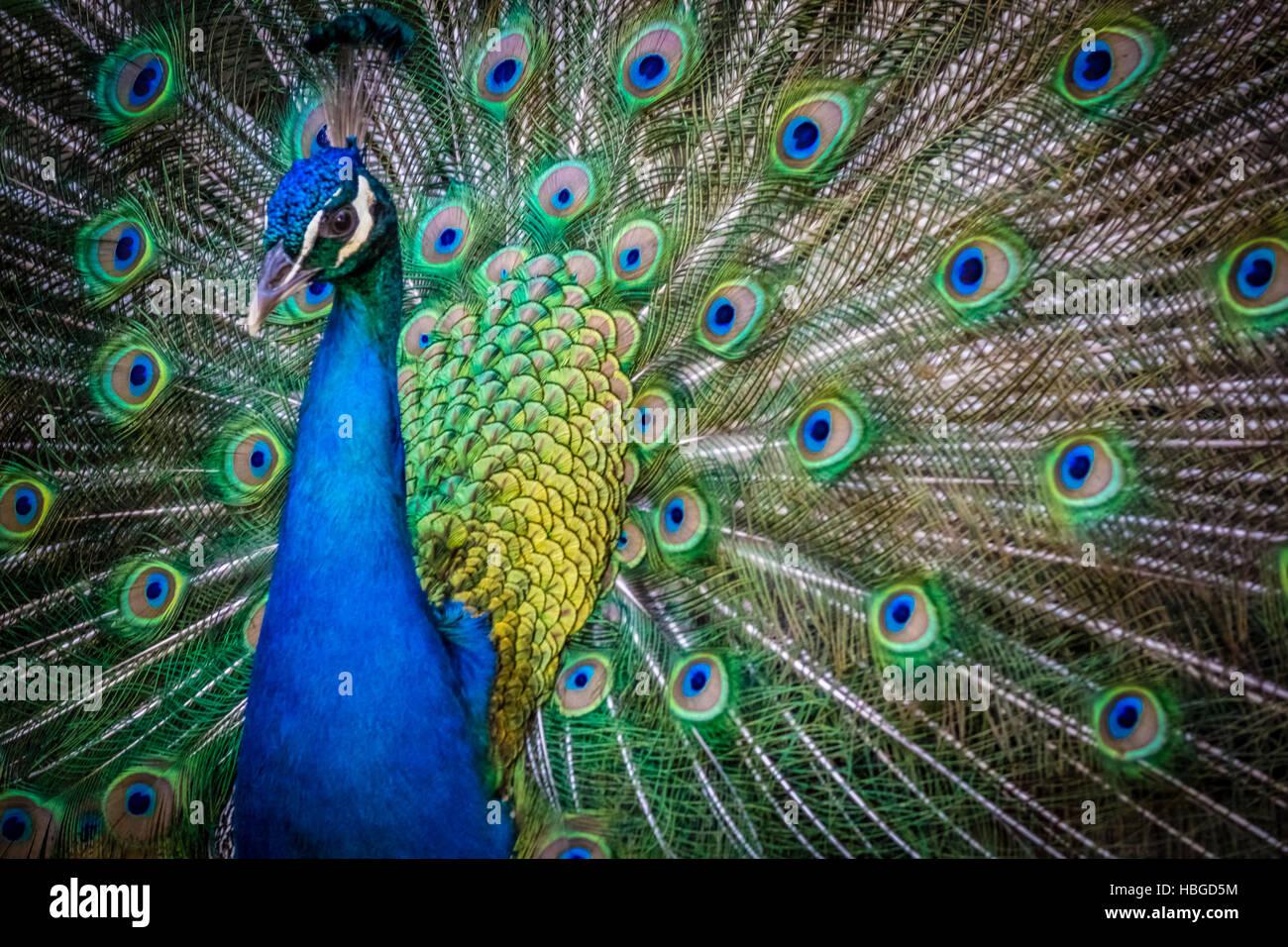 Beautiful Peacock bird Stock Photo