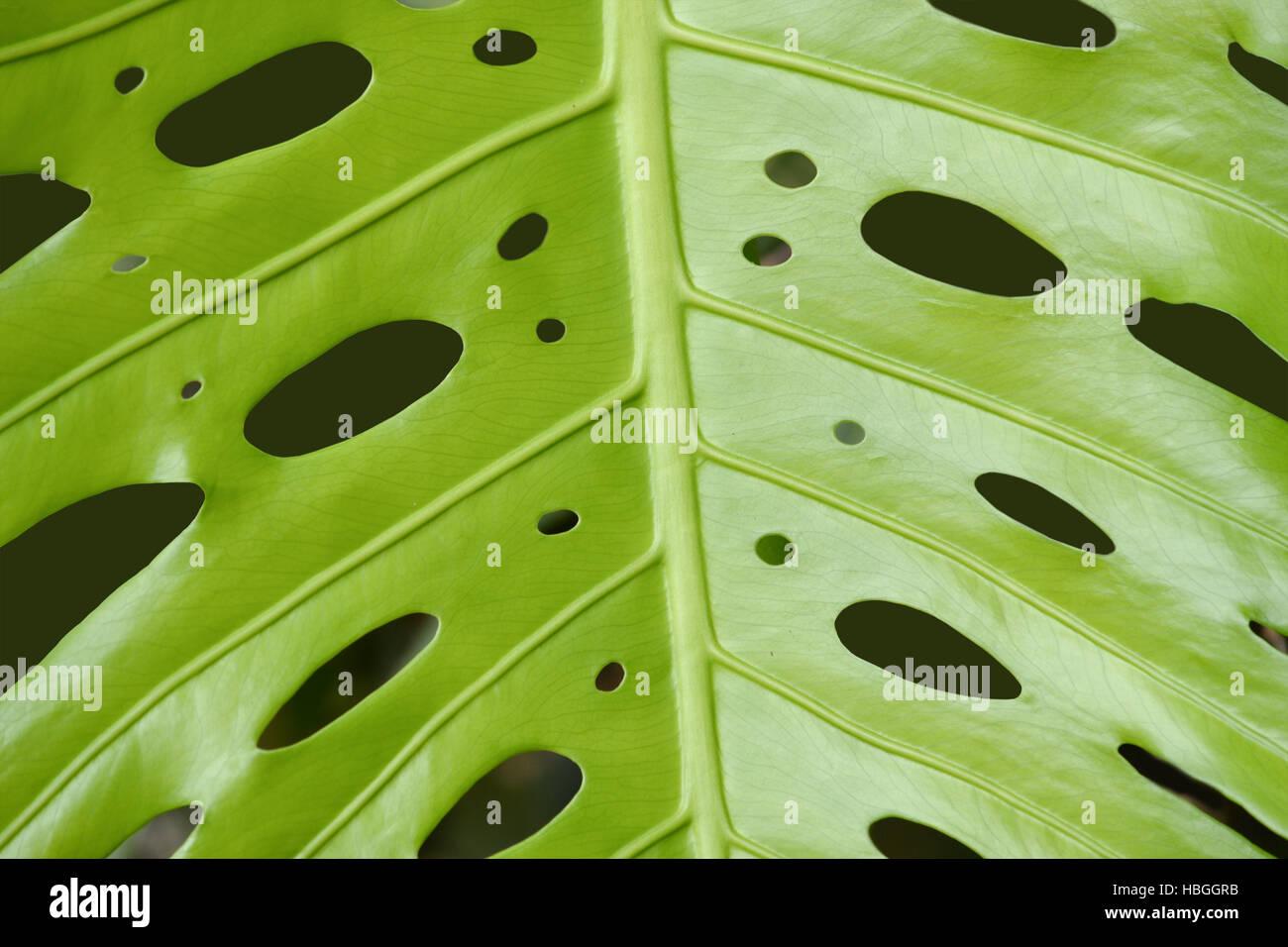 Monstera deliciosa background - Stock Image