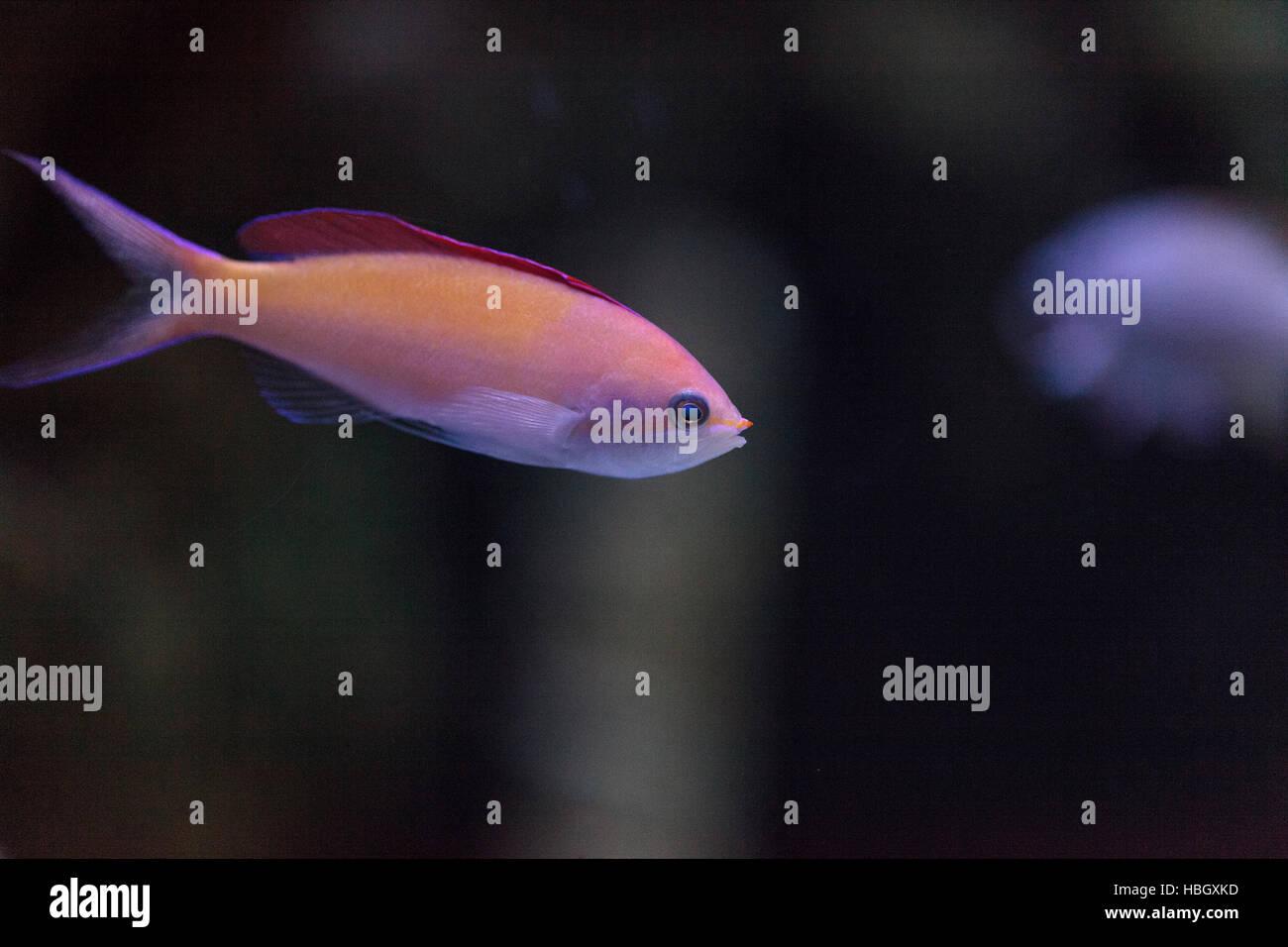 Pink Bicolor anthias fish - Stock Image