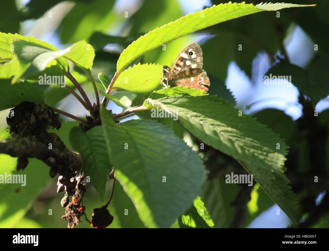 Leaves Butterfly in green foliage - Stock Image