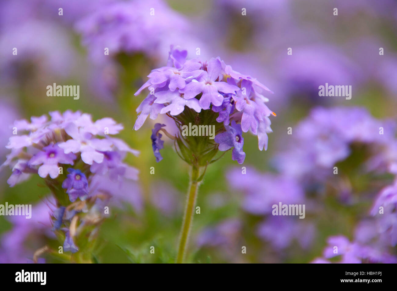 Verbena, South Llano River State Park, Texas - Stock Image
