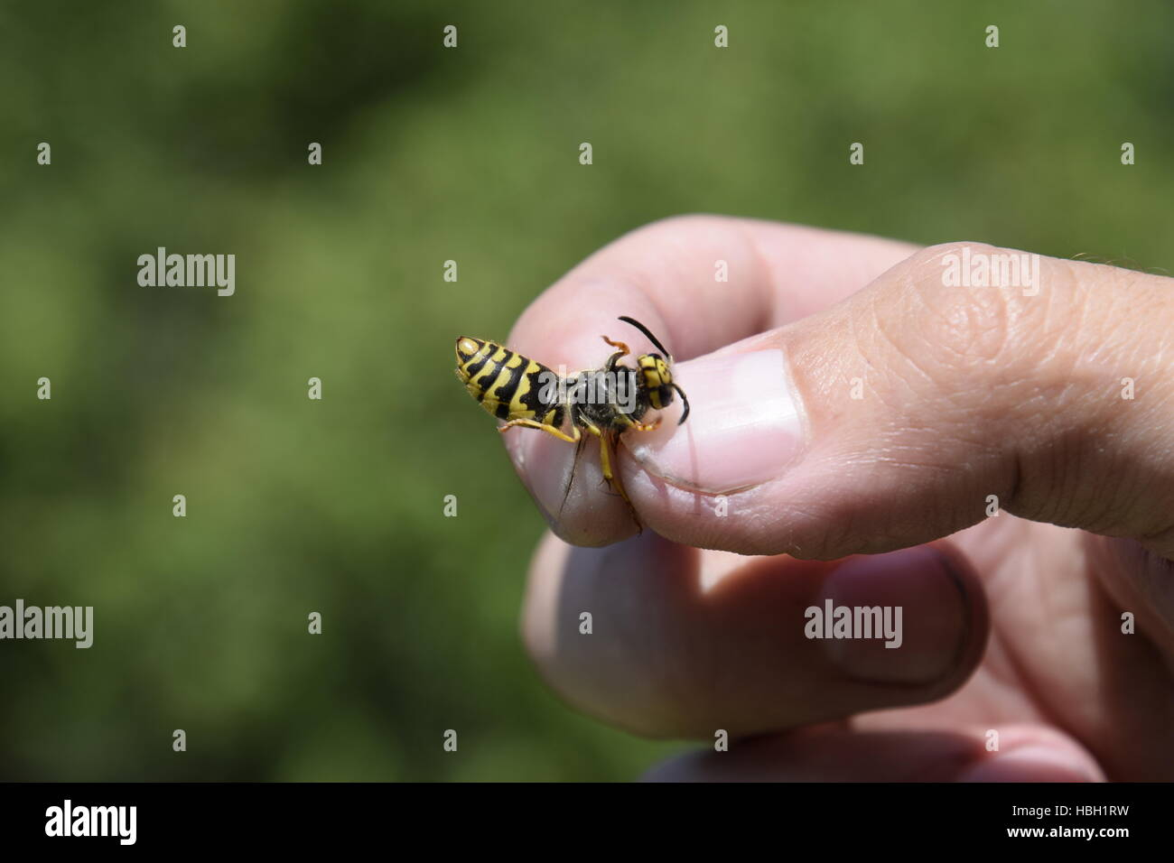 Common wasp on pinched fingers - Stock Image