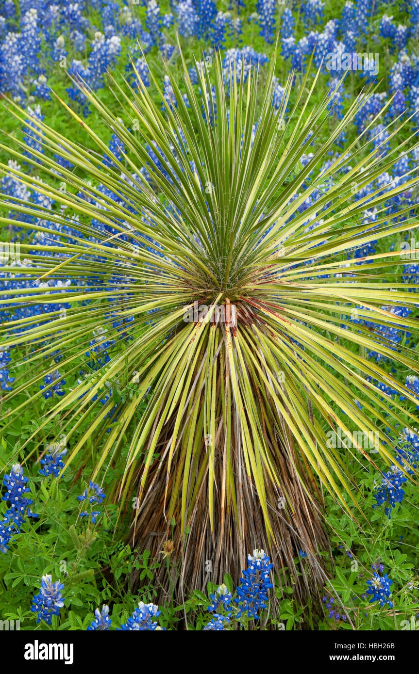 Texas bluebonnet with yucca, Inks Lake State Park, Texas Stock Photo