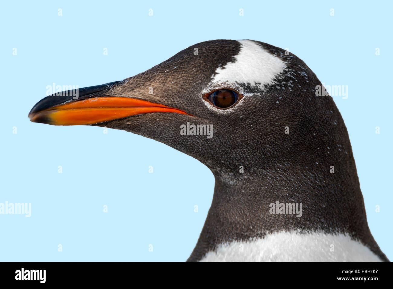 Gentoo Penguin (Pygoscelis papua) portrait - Stock Image
