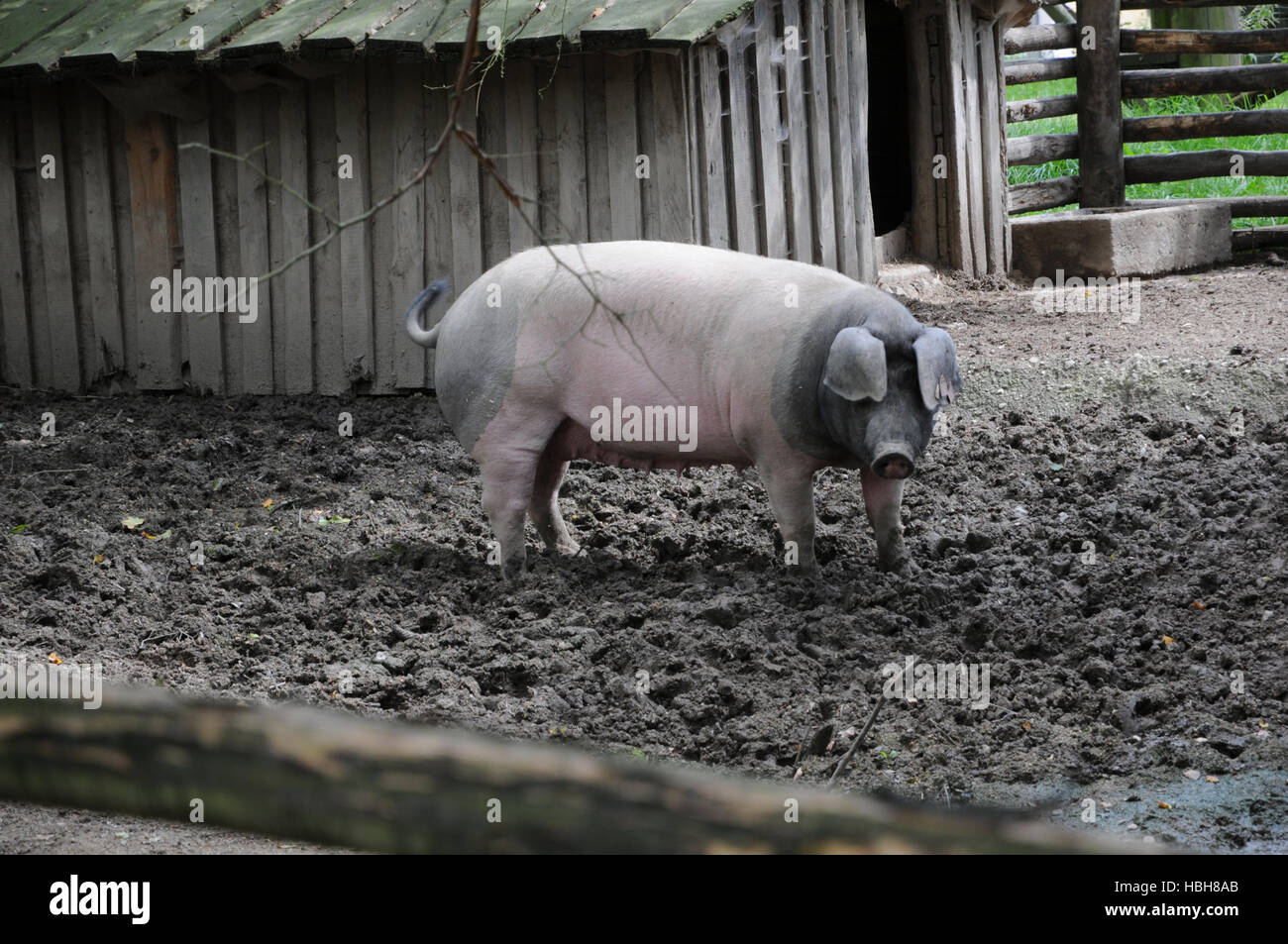 Sus scrofa domesticus, Swabian-Hall swine Stock Photo