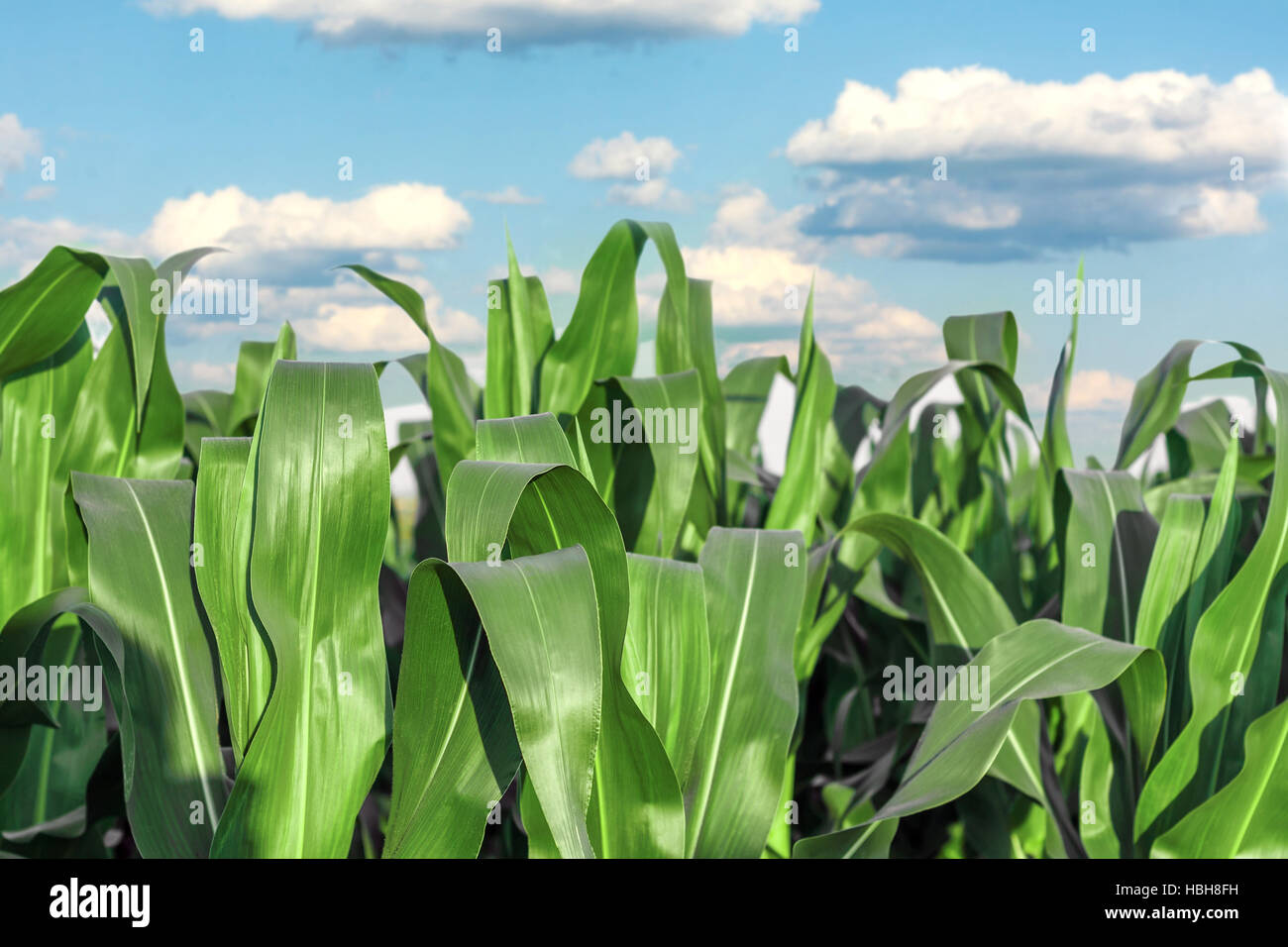 Stems of corn - Stock Image