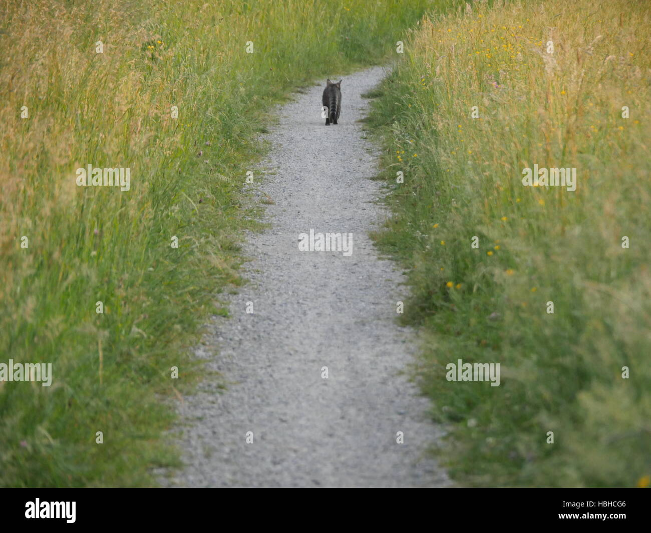 Back view of cat walking down the gravel road - Stock Image
