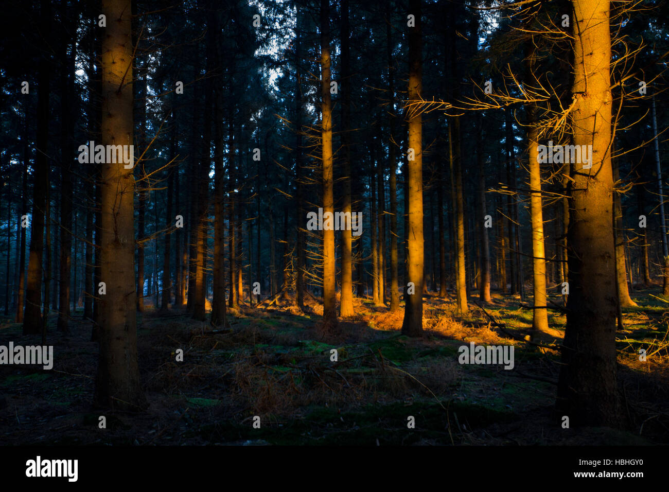 First sunlight in a dark forest lightens up the stems of pine trees - Stock Image