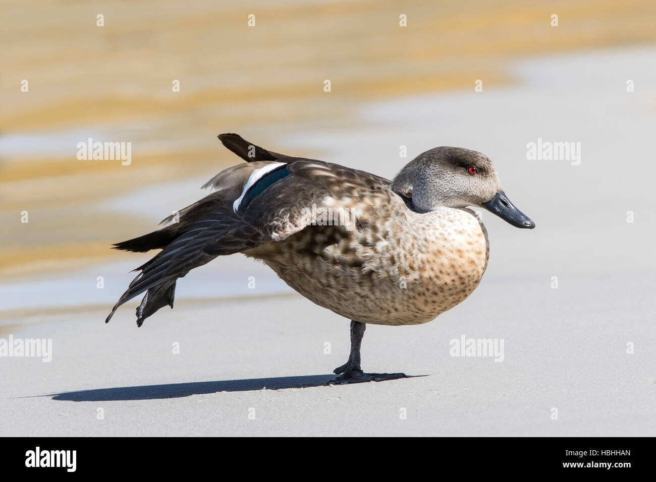 crested duck (Lophonetta specularioides) adult stretching wing on beach, Falkland Islands - Stock Image