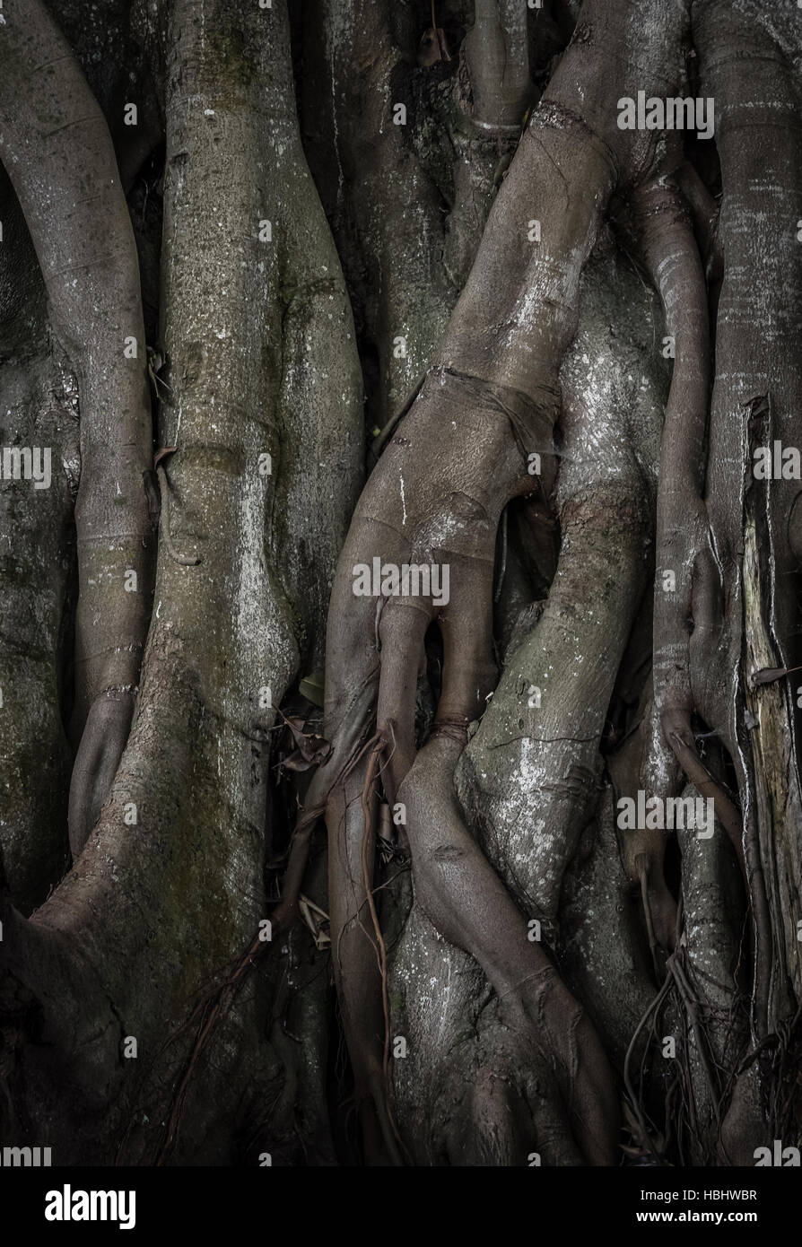 Enormous tree roots - Stock Image