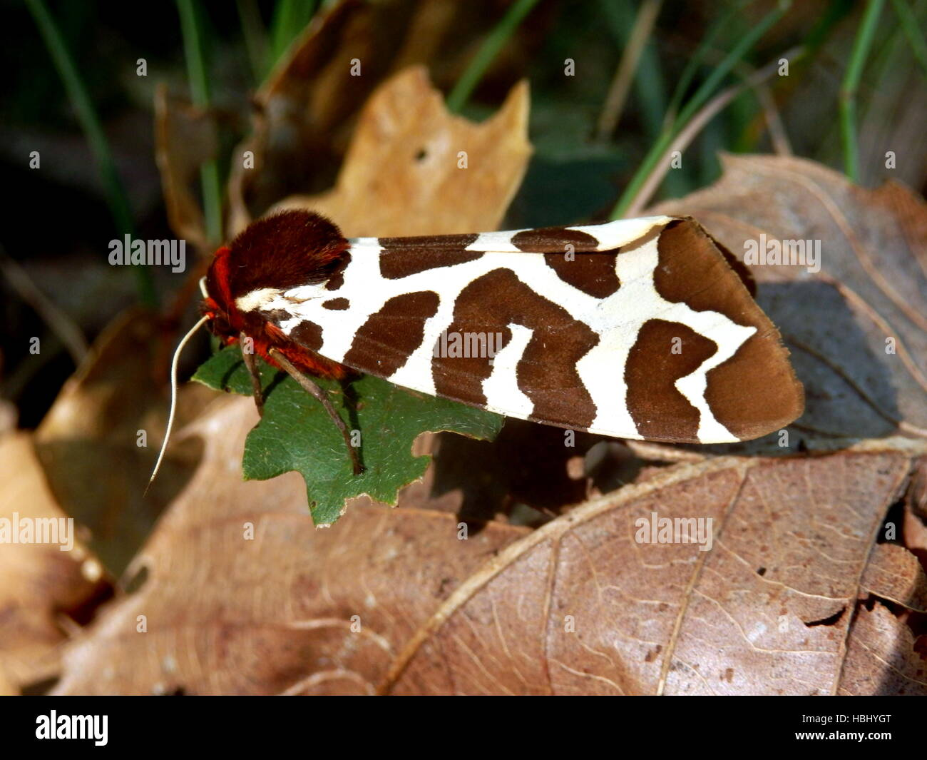 Garden Tiger Moth Stock Photo: 127628616 - Alamy