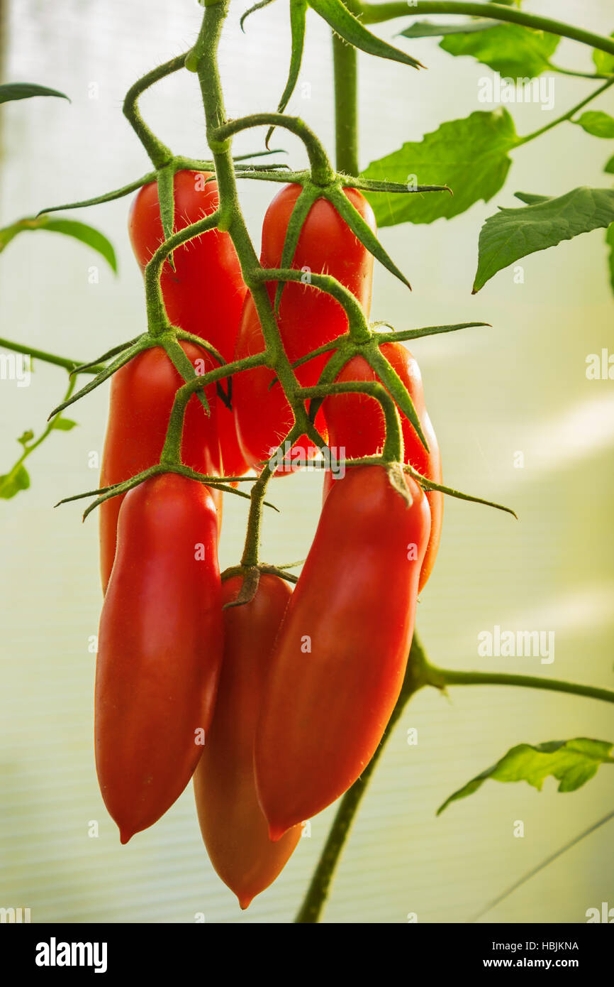 Tomatoes elongated form on branch - Stock Image