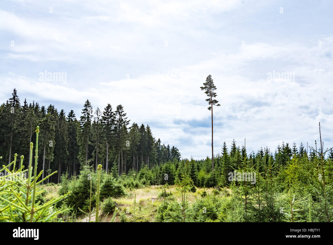 Single tall tree among younger forest - Stock Image