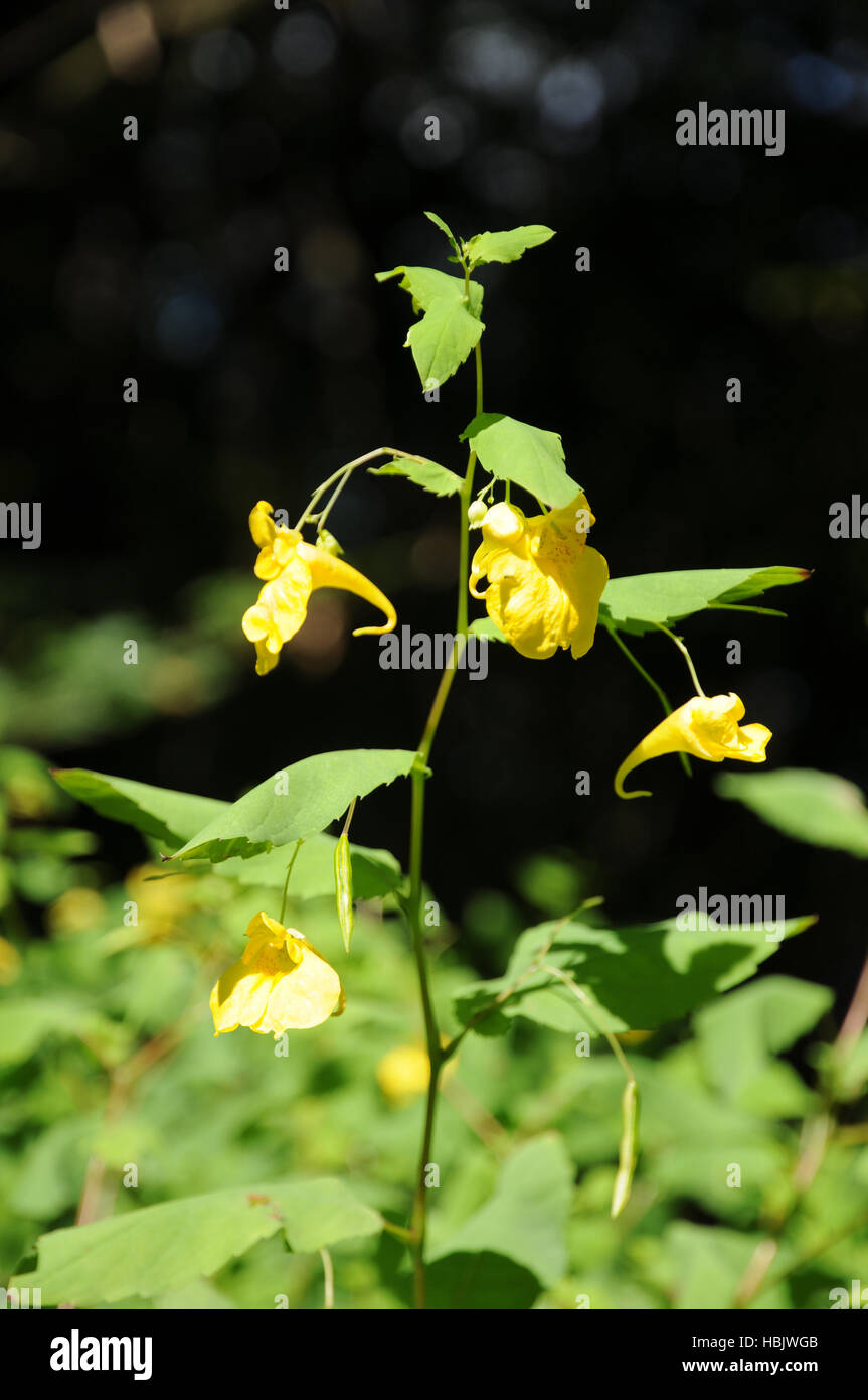 Impatiens noli-tangere, Touch-me-not balsam Stock Photo