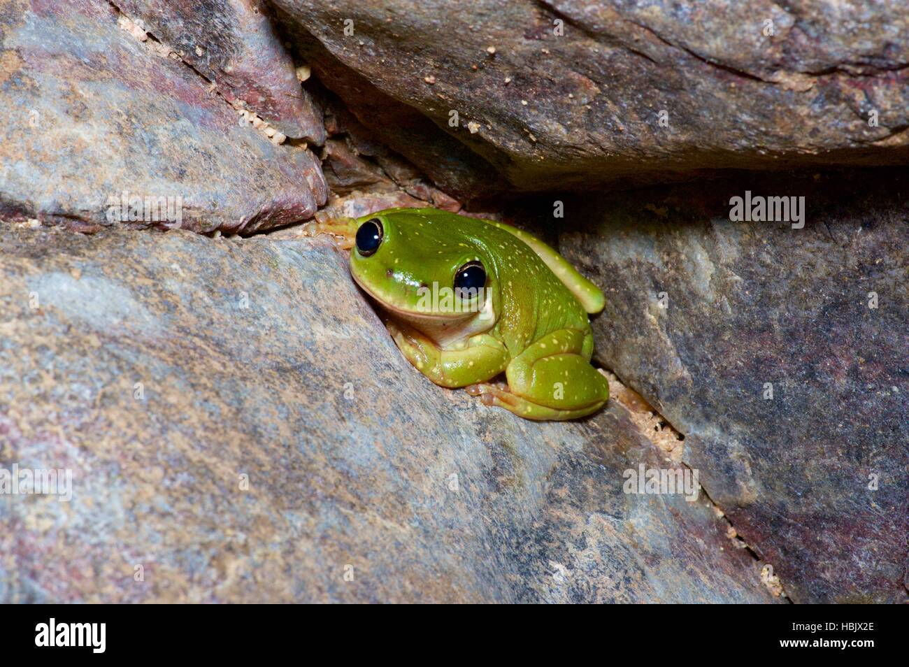 A Centralian Tree Frog (Litoria gilleni) crouched on a boulder in Ormiston Gorge, Northern Territory, Australia - Stock Image