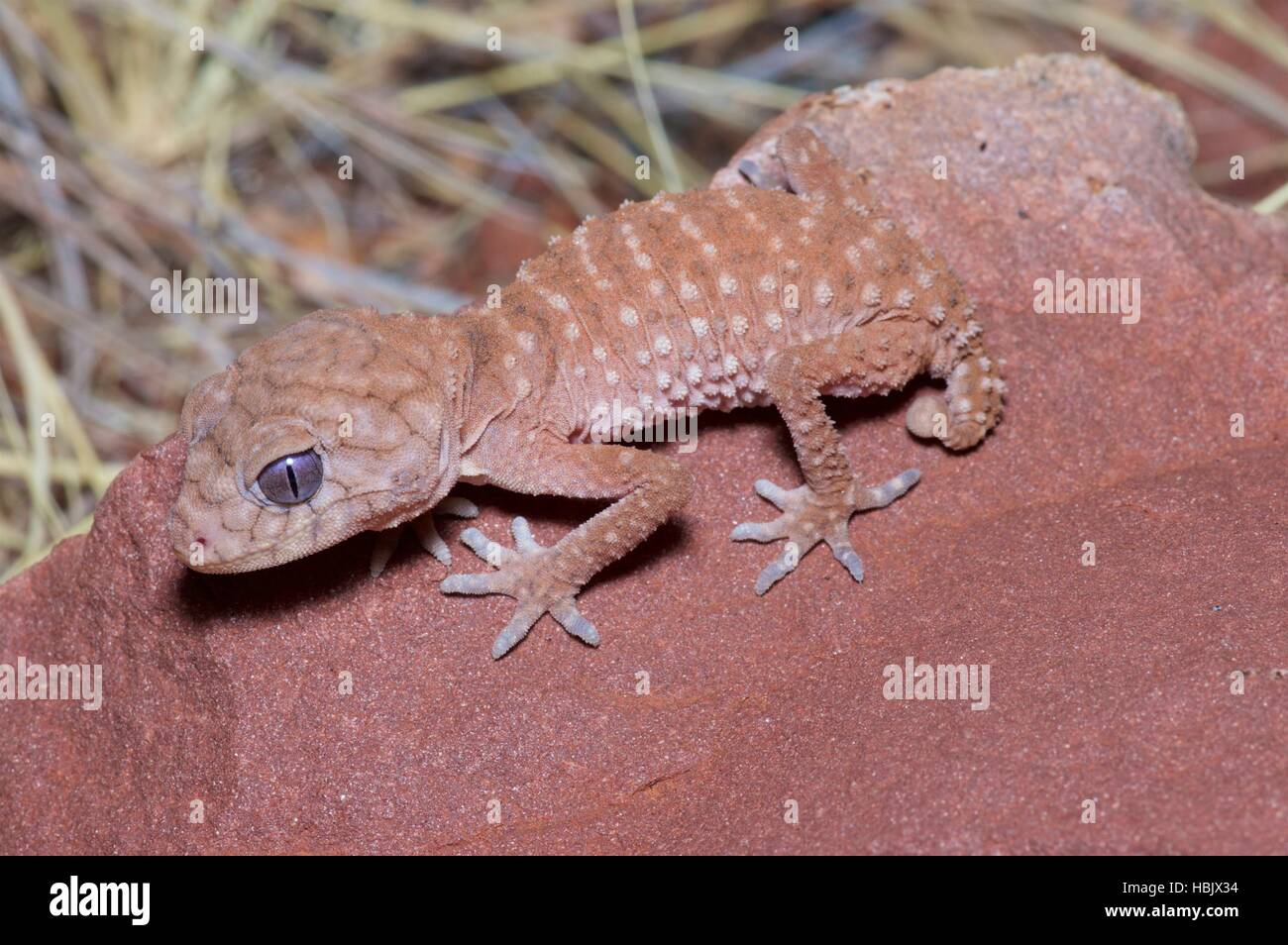 A young Centralian Knob-tailed Gecko (Nephrurus amyae) looks menacing in the West MacDonnell Ranges, Australia - Stock Image