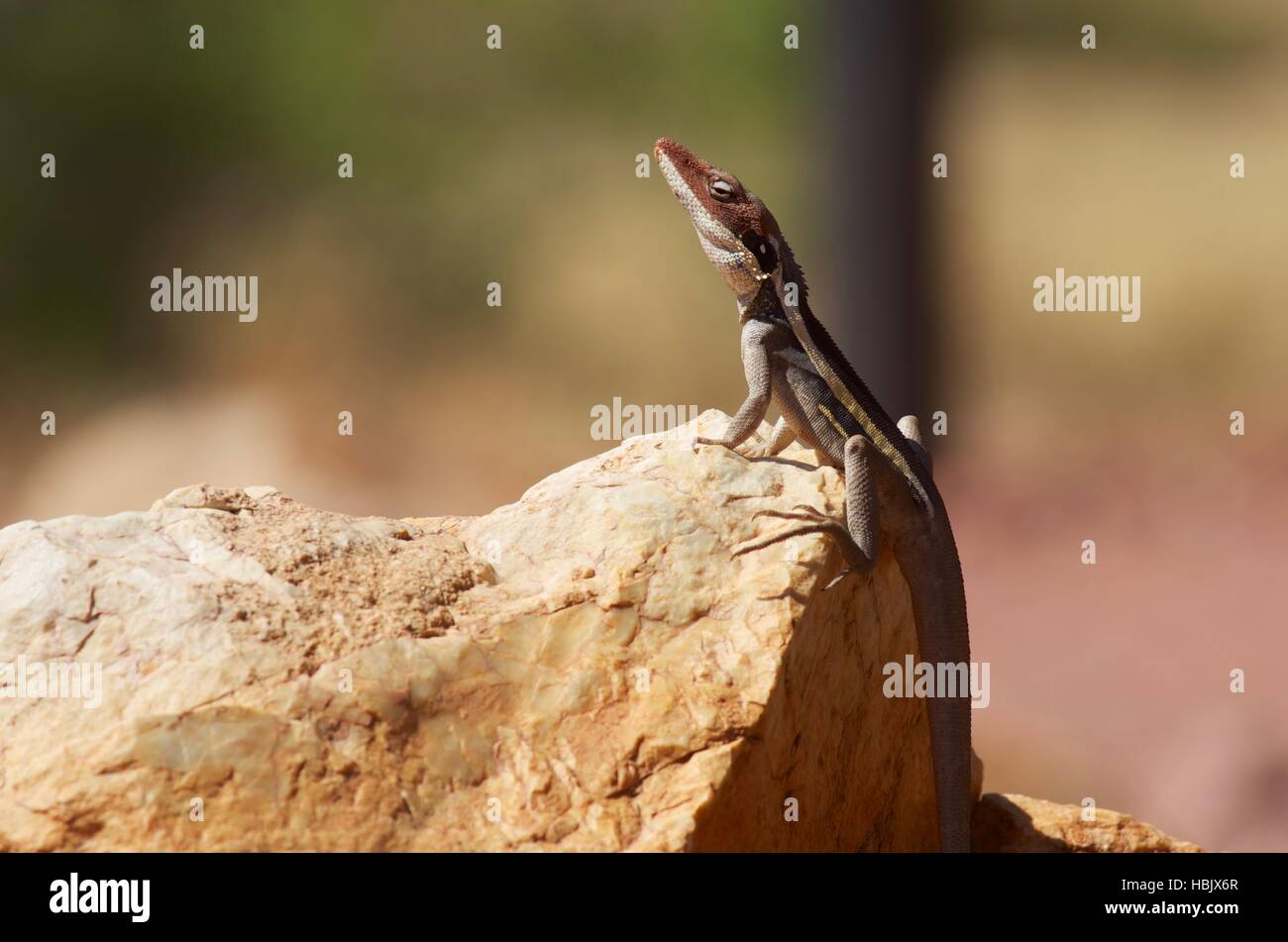 A Long-nosed (and long-tailed) Dragon (Gowidon longirostris) on a reddish rock at West MacDonnell National Park, - Stock Image