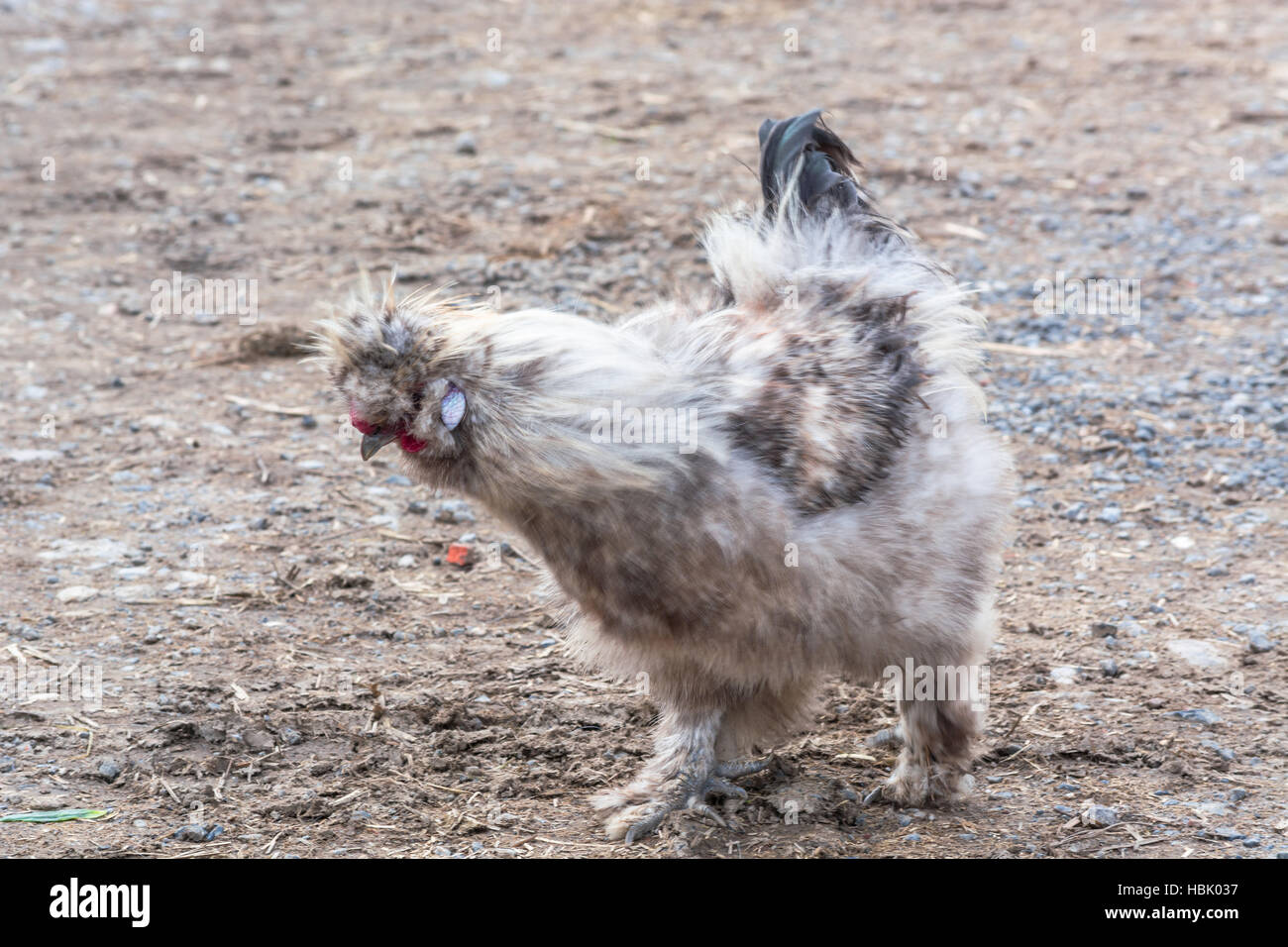 Free Running chicken on a farm - Stock Image