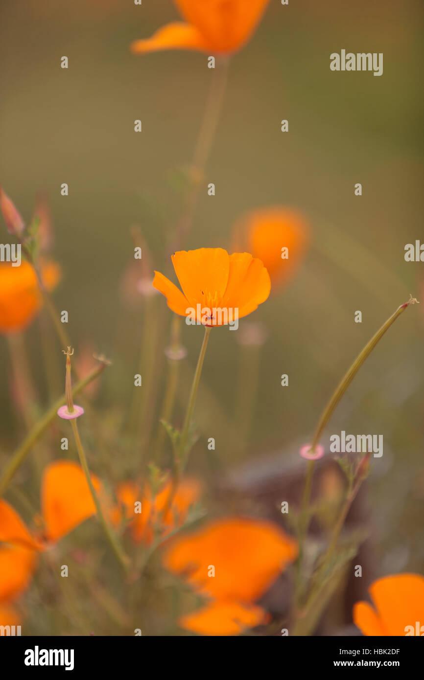 Orange Calif Poppy Stock Photo