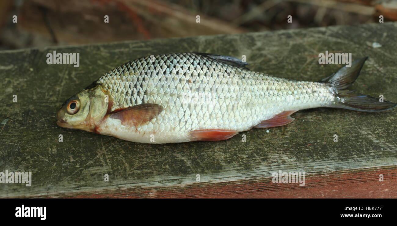 rudd fish scales - Stock Image