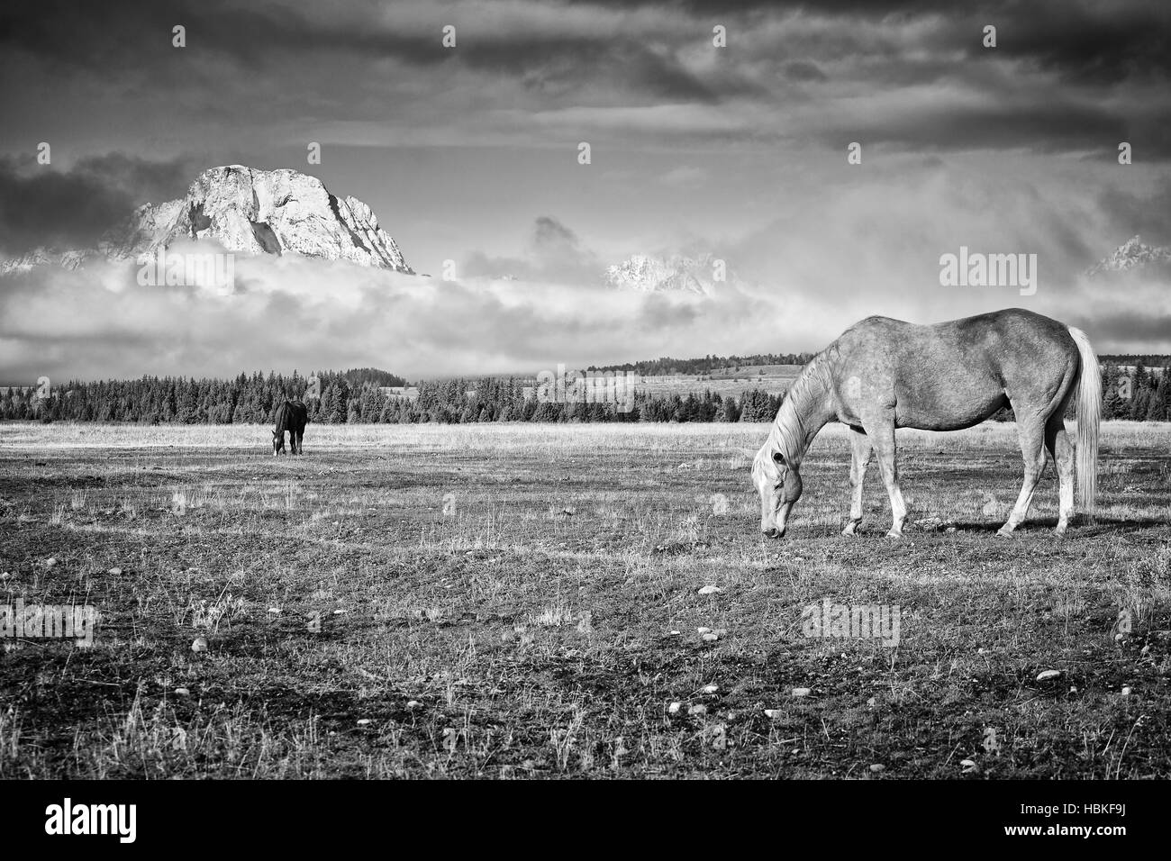 Black and white photo of grazing horses, Wyoming, USA. - Stock Image