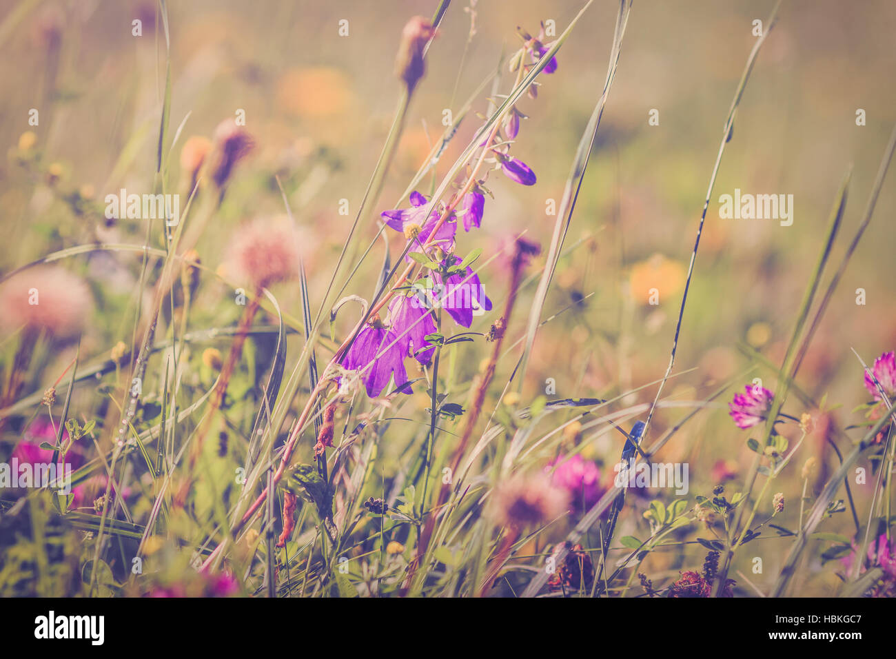 Wildflowers on summerly meadow - Stock Image