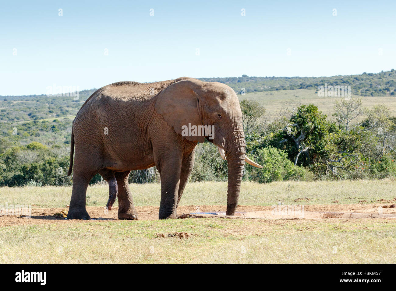 It is all hanging - African Bush Elephant - Stock Image