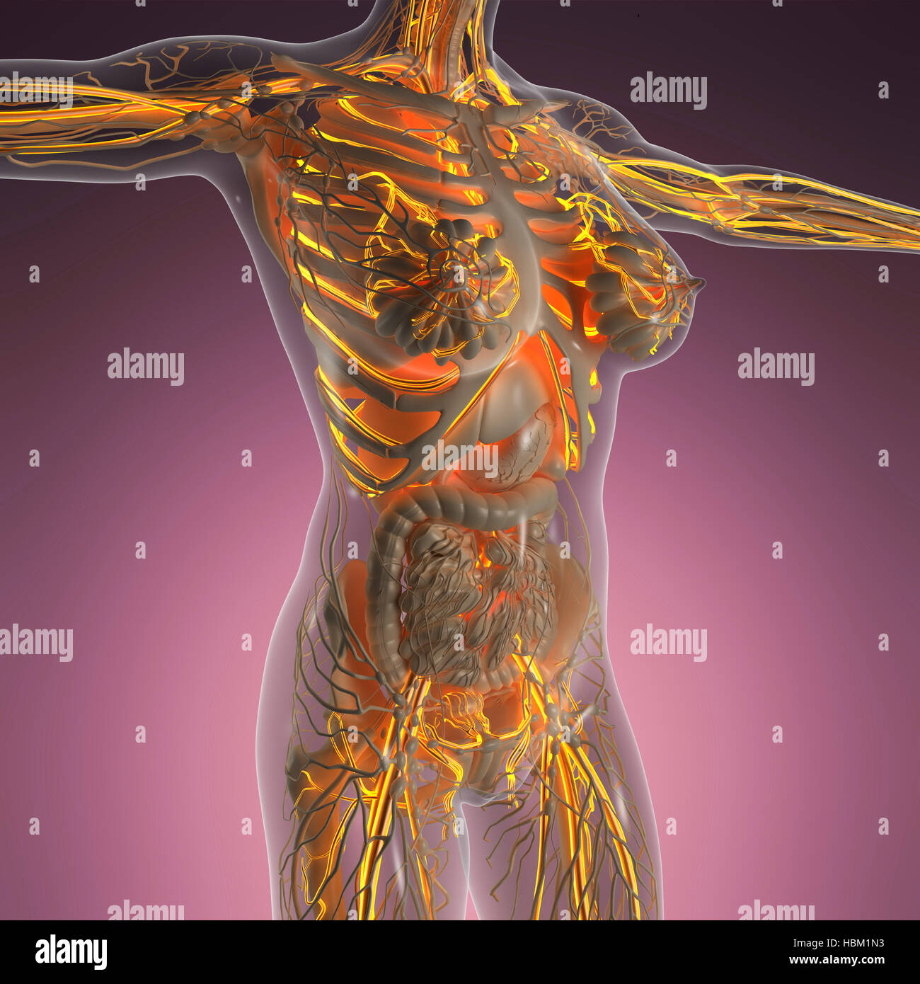 Blood Vessels Of The Body Stock Photos Blood Vessels Of The Body
