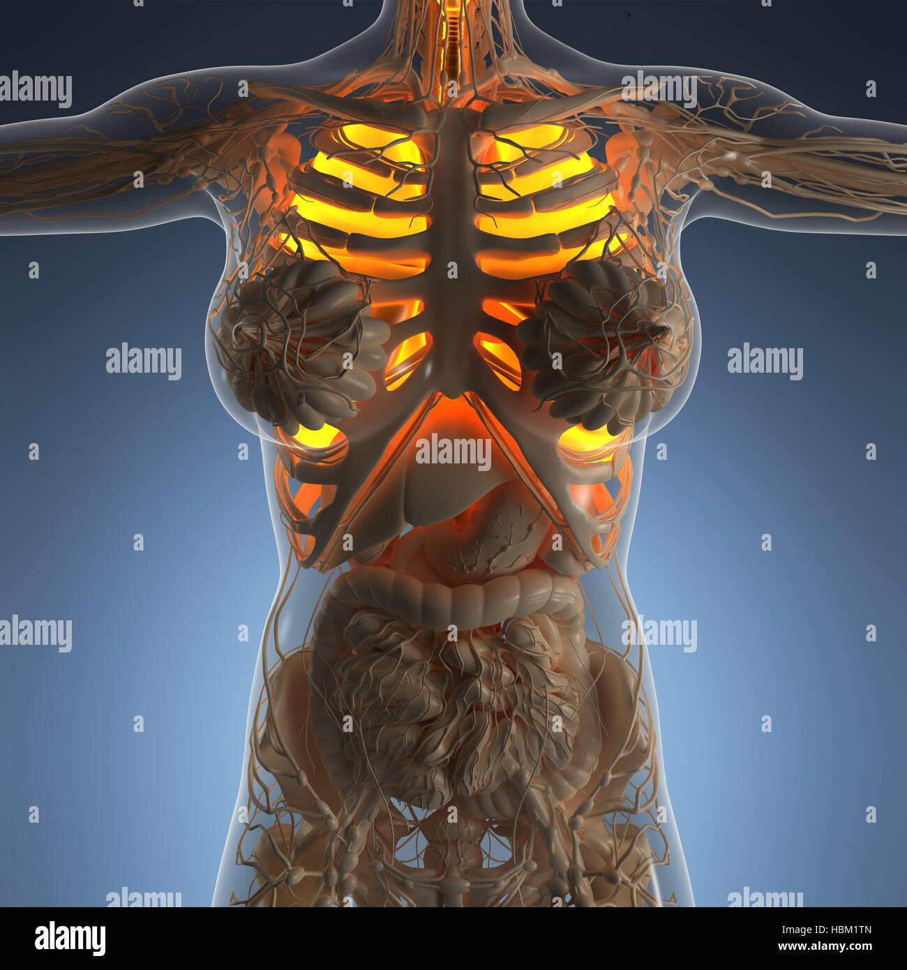 Science Anatomy Of Woman Body With Glow Lungs Stock Photo 127674309