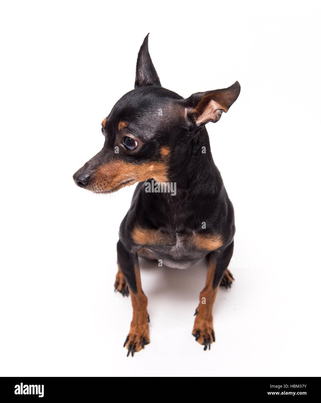 miniature-pinscher sitting against white background - Stock Image