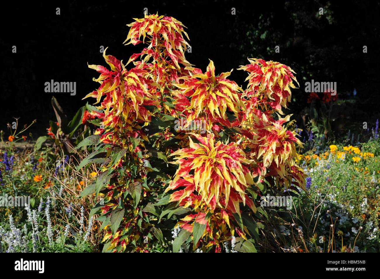 Amaranthus tricolor, Josephs coat Stock Photo