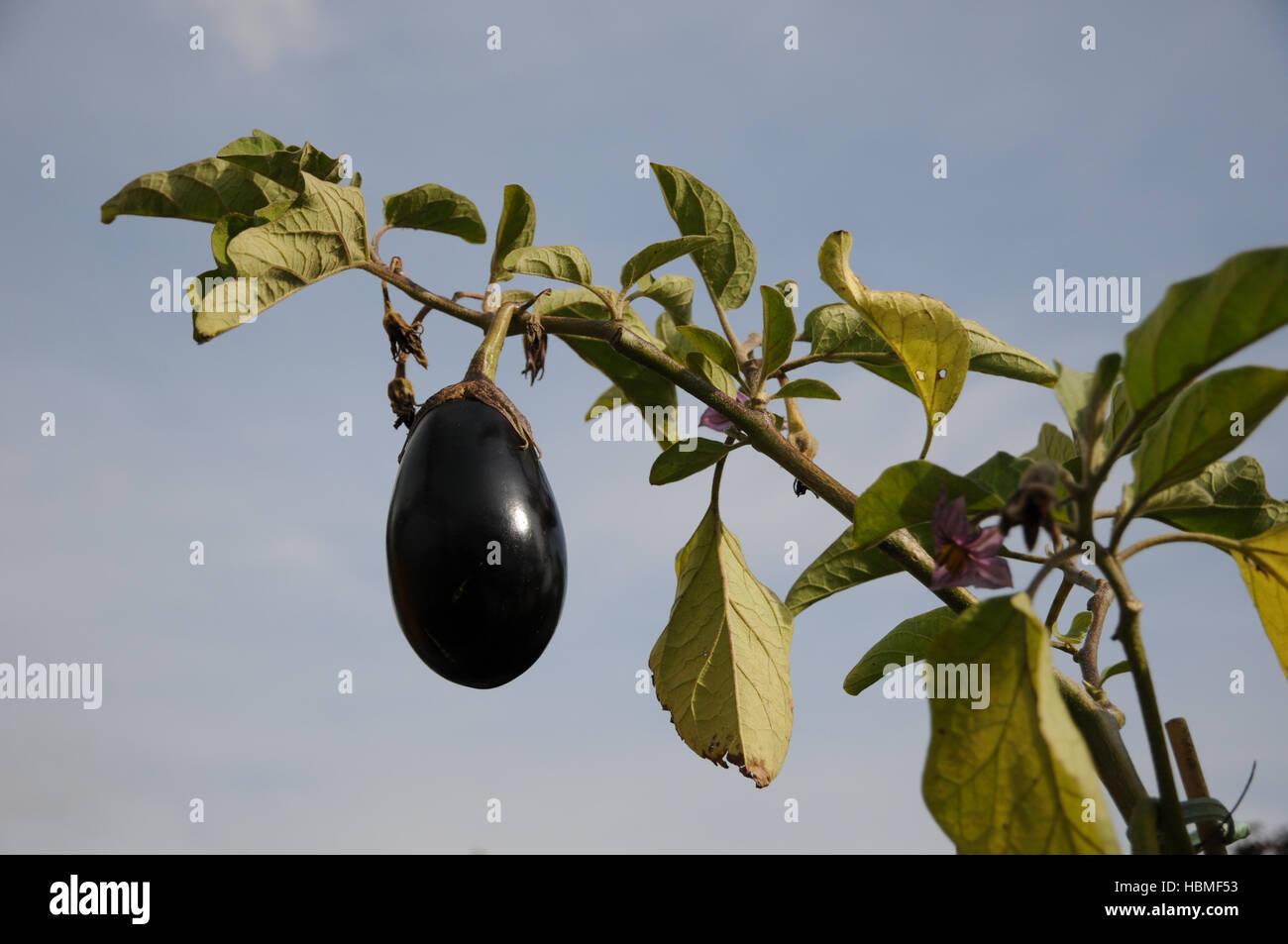 Solanum melongena, Aubergine, Eggplant Stock Photo