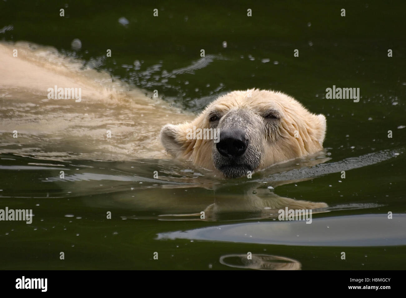 Ice Bear swims Stock Photo