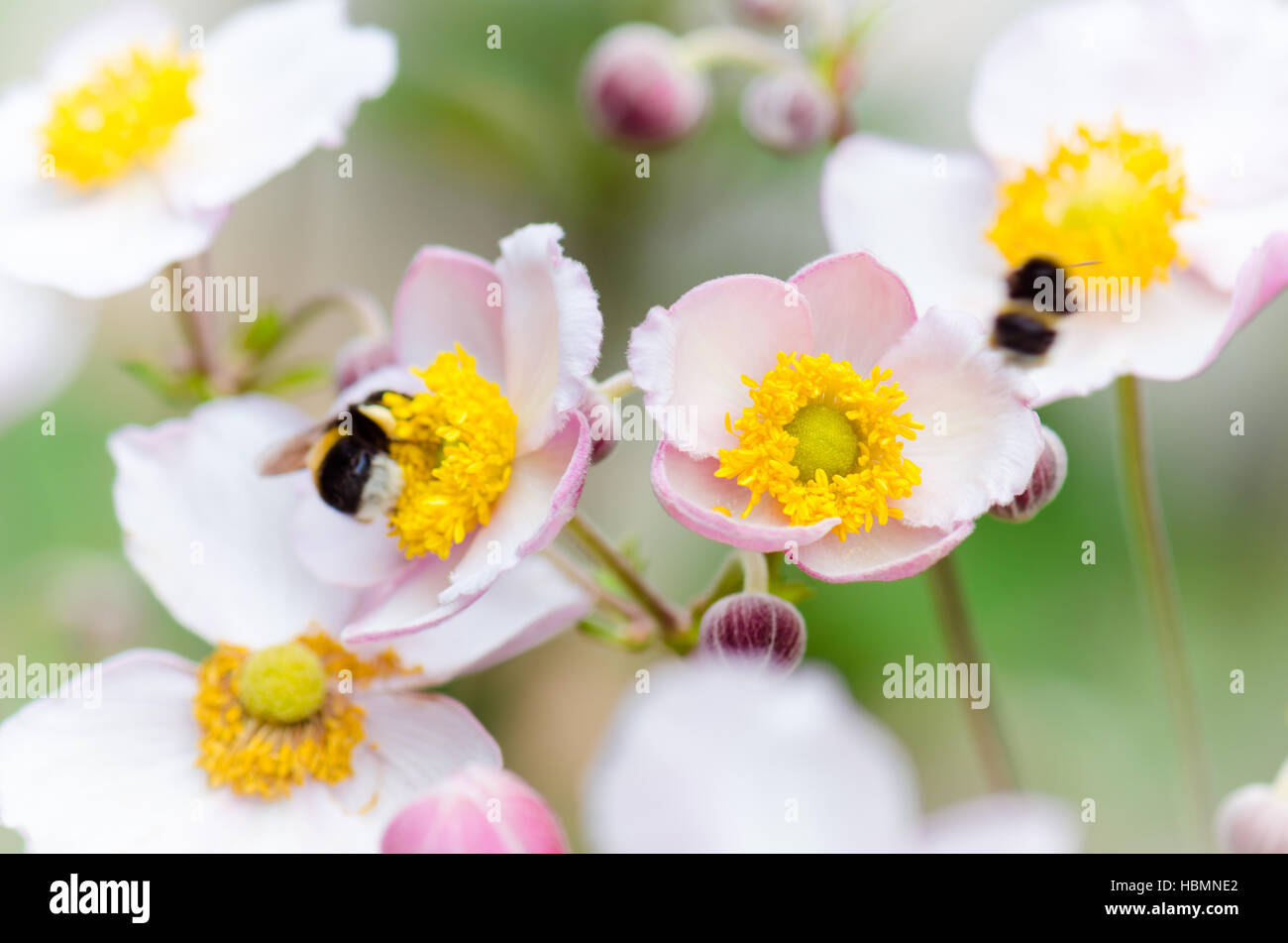 a bee collects pollen from flower, close-up Stock Photo