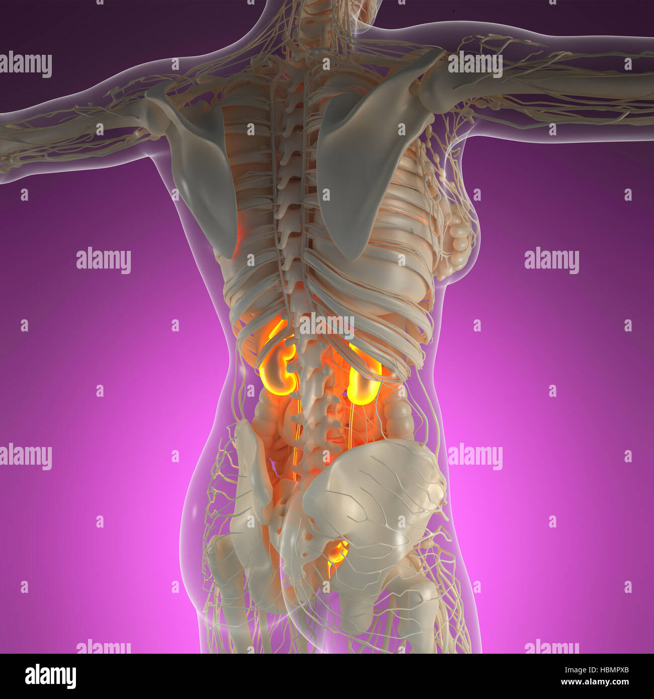Science Anatomy Of Human Body In X Ray With Glow Kidneys Stock Photo