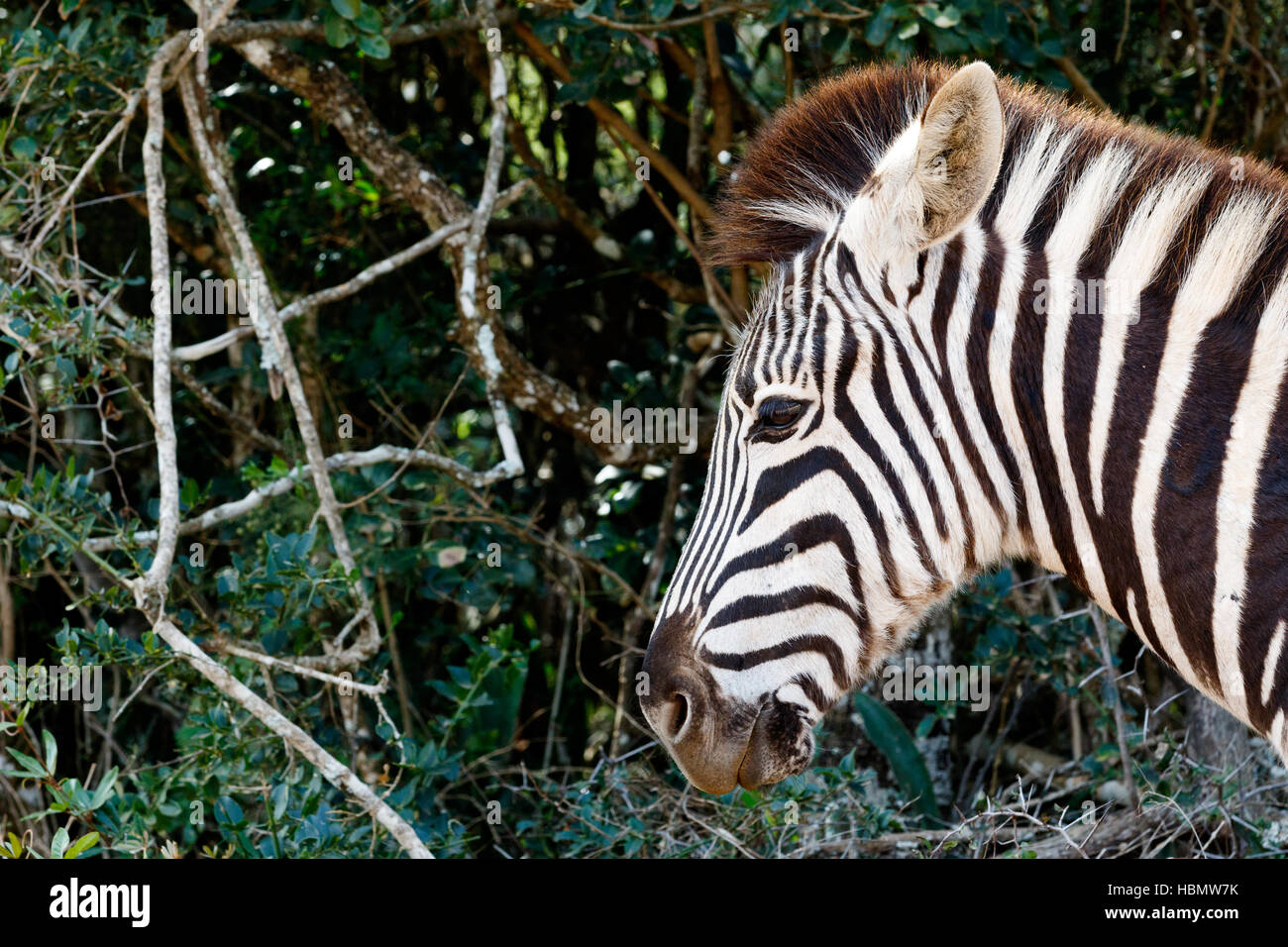 Just a pin sharp Burchell's Zebra - Stock Image
