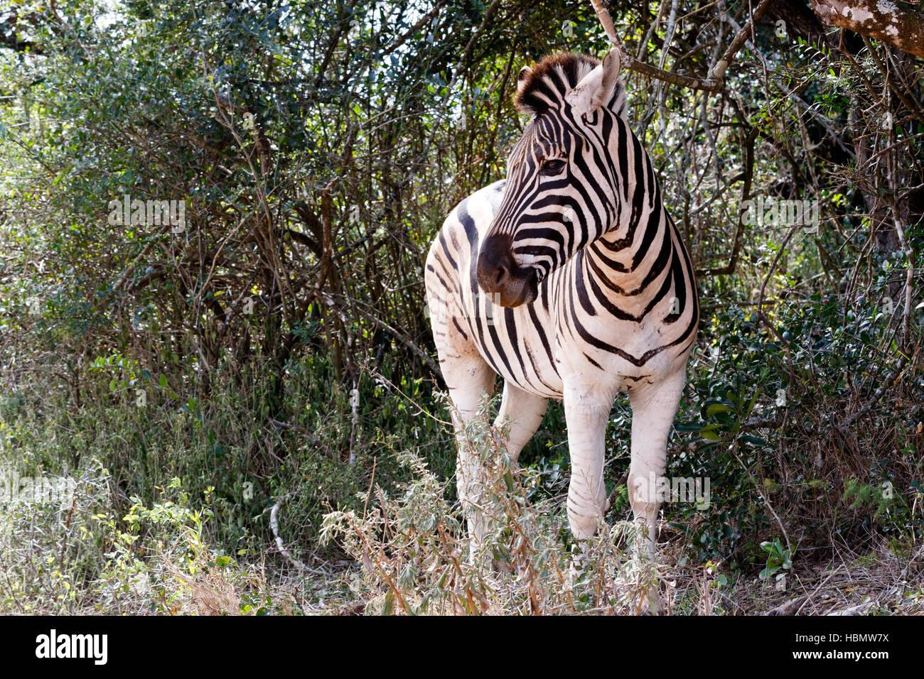 Burchells Zebra Looking Left - Stock Image