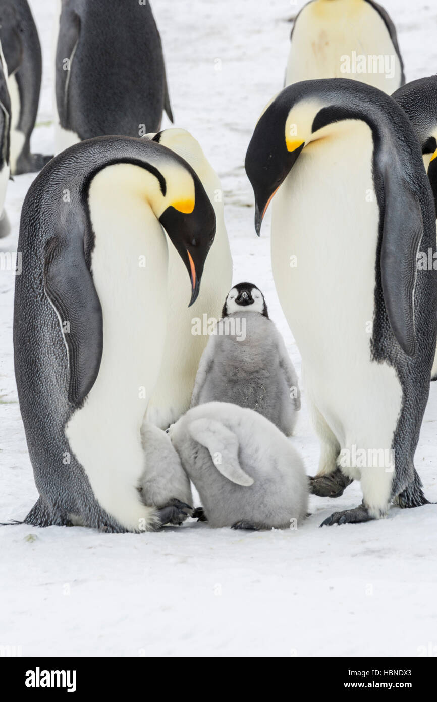 Two Emperor penguin chicks have their heads in the same brood pouch of an adult - Stock Image