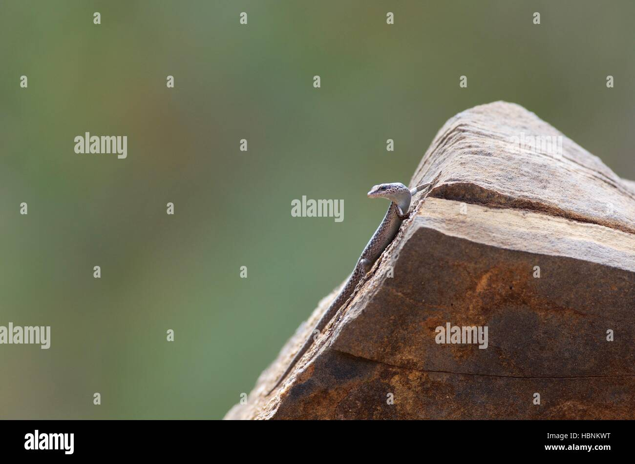An Inland Snake-eyed Skink (Cryptoblepharus australis) perched on a rock in Flinders Ranges National Park, South - Stock Image