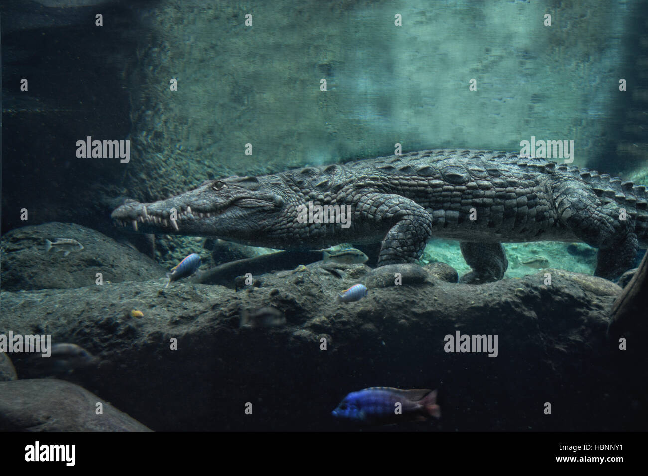 the croc under water - Stock Image