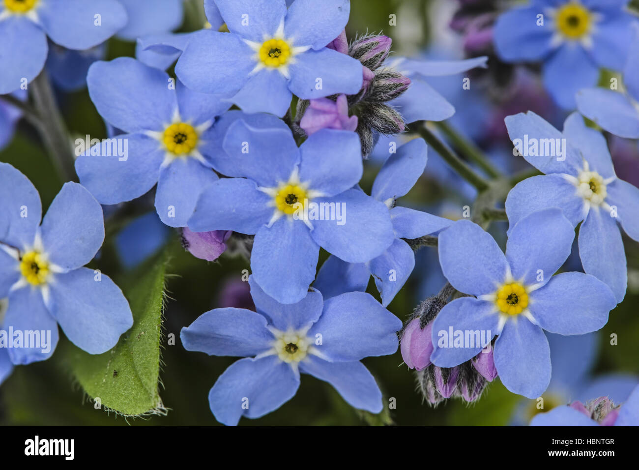 White Forget Me Not Flowers Close Up Stock Photos White Forget Me
