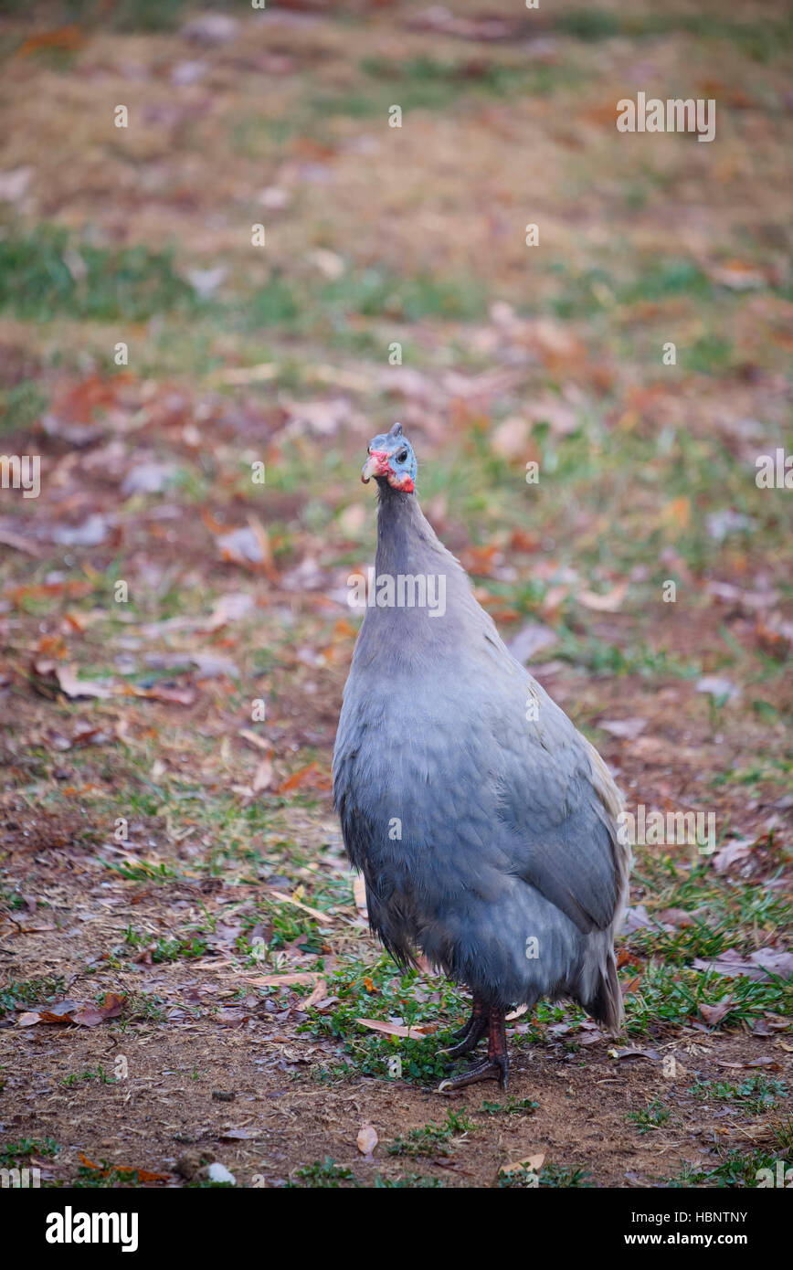 Guinea Fowl bird on the ground in Autumn. - Stock Image