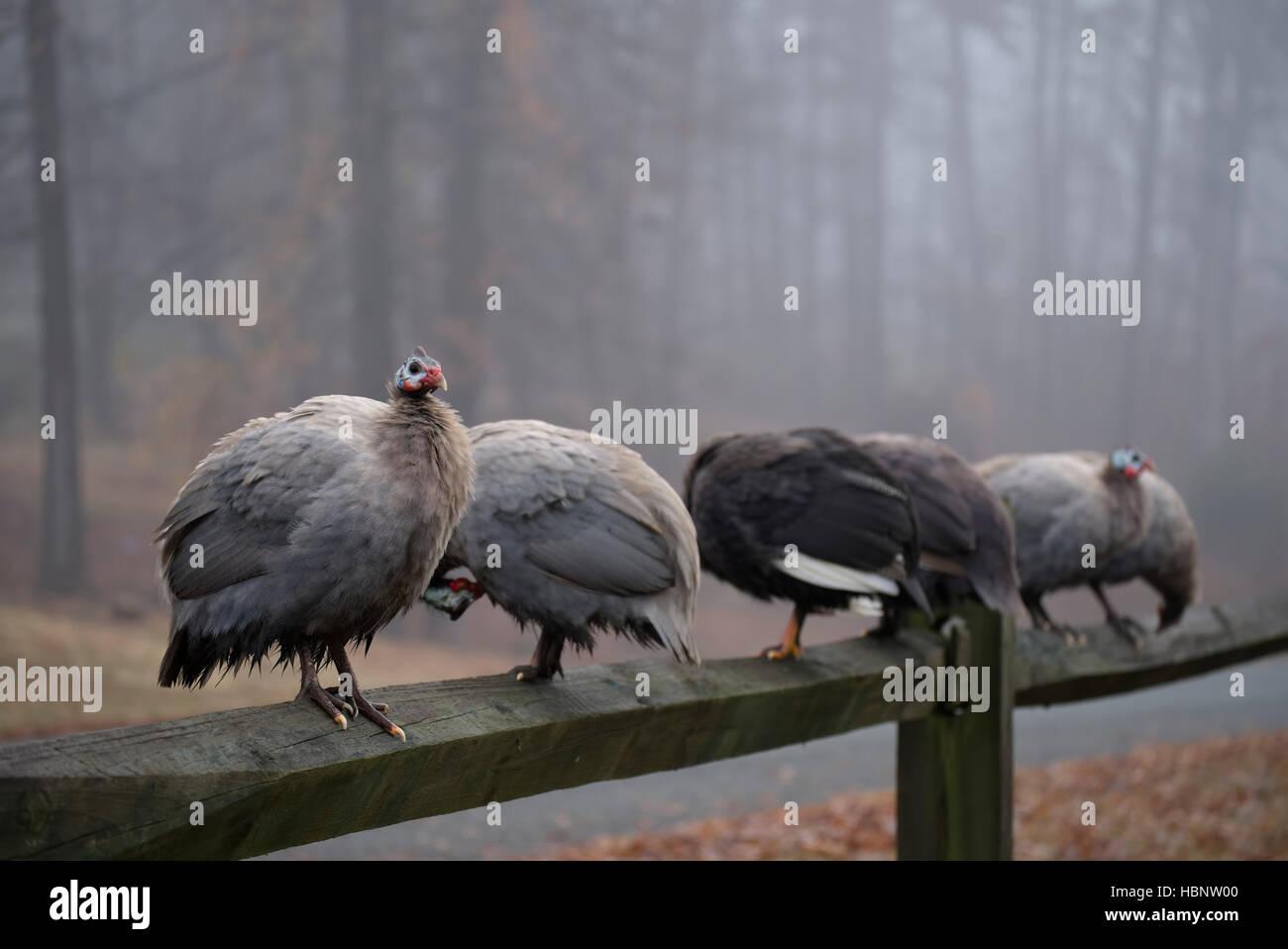 Guinea Fowl on fence rail - Stock Image