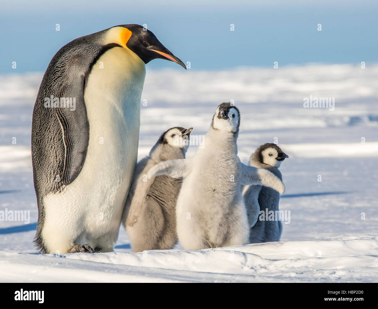 An adult Emperor Penguin with three chicks, one of which has its wings extended - Stock Image